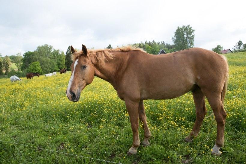 Tõnis Erilaiu lehesaba | Kuidas hobusevargast sai tõeprohvet