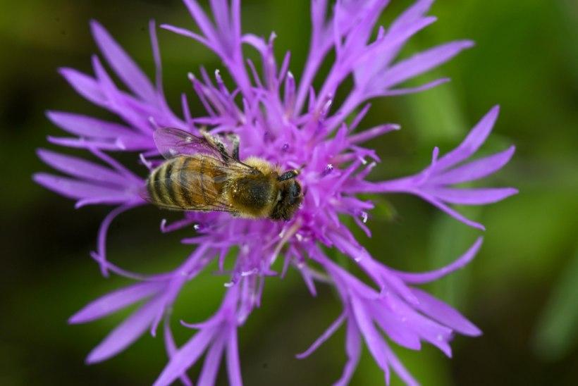 VIDEO   Sajad mesilased saboteerisid Brasiilias jalgpallilahingut