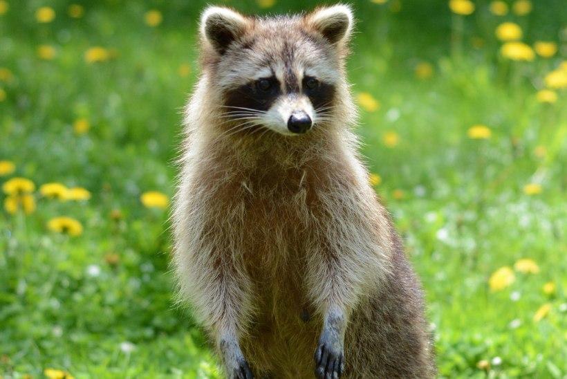 Tiina Tuum | Appi, loomad elutoas ehk Kuuldus pesukarust Kalamajas