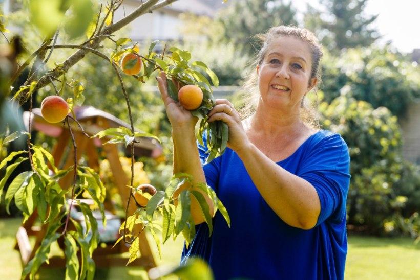 AIANÕU | Eesti aedades kasvavad virsikupuud annavad uhket saaki