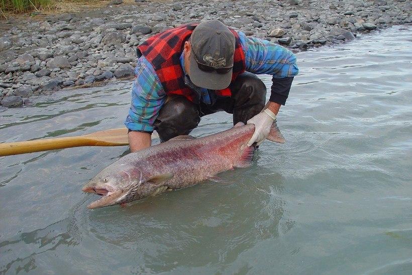 Rekordsoe suvi surmab Alaska lõhekalu