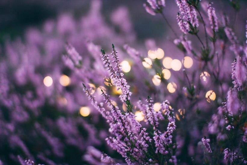 Aromaatne lavendel: kasutusel ilu- ja rohukapis ning hoiab ka kahjurid eemal!