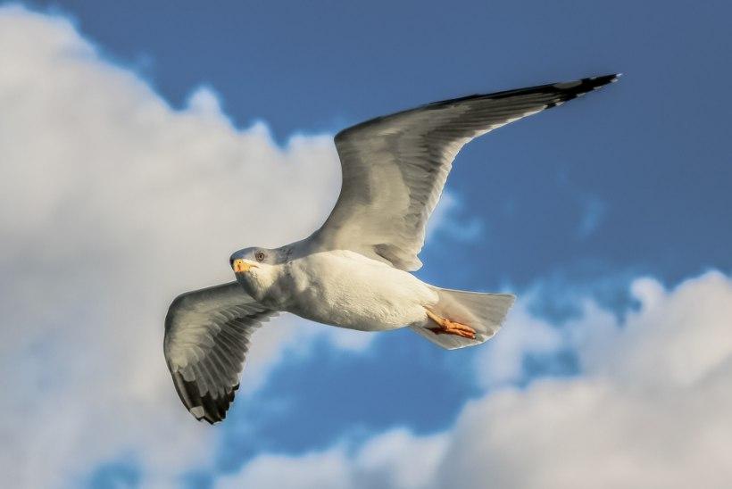 AVESTA | Laupäev, 31. august 2019: hea märk, kui juhtud nägema palju linde