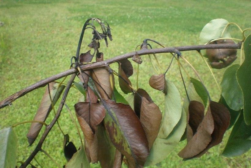 Tähelepanu! Eestis leiti ohtlik taimekahjustaja viljapuu-bakterpõletik