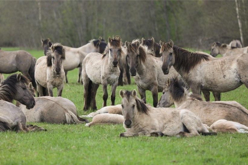 Hiiumaal ründas hobusekari Sääretirpi jalutama läinud turiste