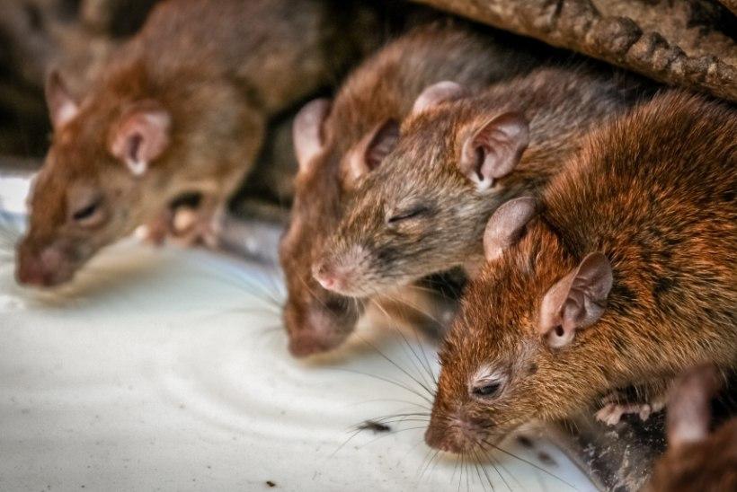 NÄRILISTE ARMEE: toidupood sulges uksed rottide sissetungi filminud klientide tõttu