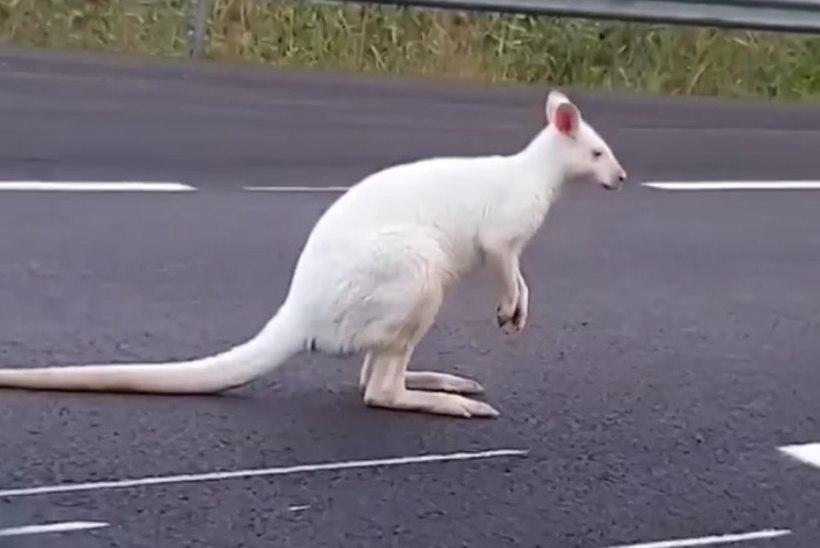 OOTAMATU VAATEPILT: Ahvenamaa tänavatel kalpsas ringi haruldane valge känguru
