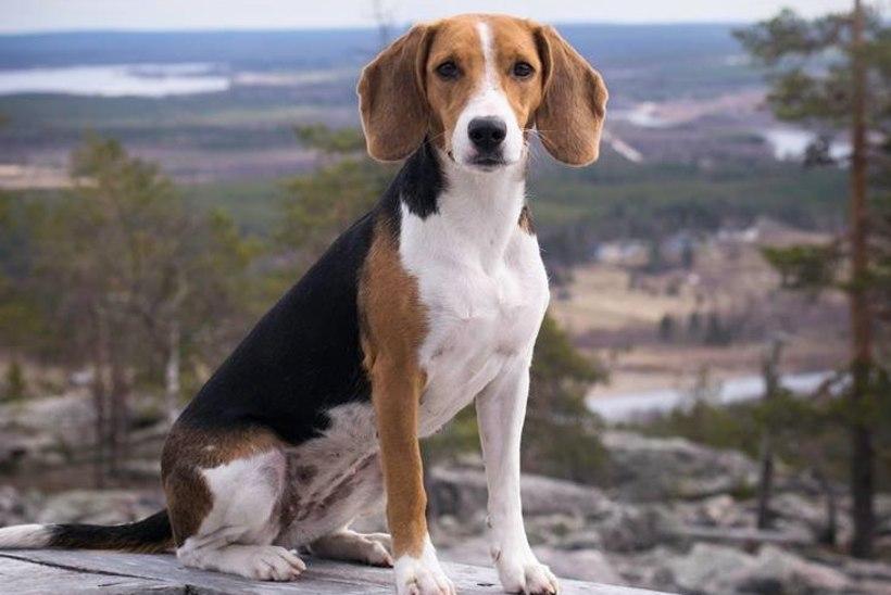 Eesti hagijast sai rahvusvaheliselt tunnustatud koeratõug