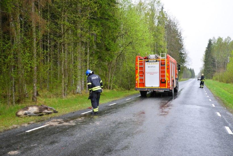 Teed ületades hukkunud põder mõlkis kolm autot