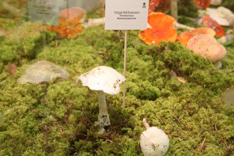 JUBA 24 ÕNNETUST: palun ära korja tundmatuid seeni ega tarvita neid viinavõtmise kõrvale!