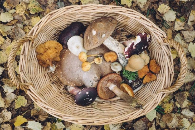 Lugeja tahab teada: kas oma aia seentest võiks kastet teha?