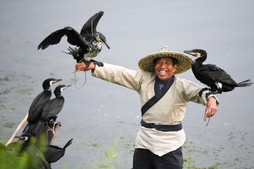 Kõva kalapüüdja kormoran