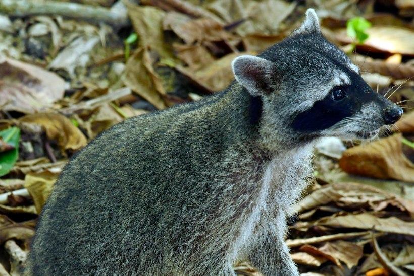Uued loomad kolivad sisse: varsti hakkab Eestis lammutama pesukaru