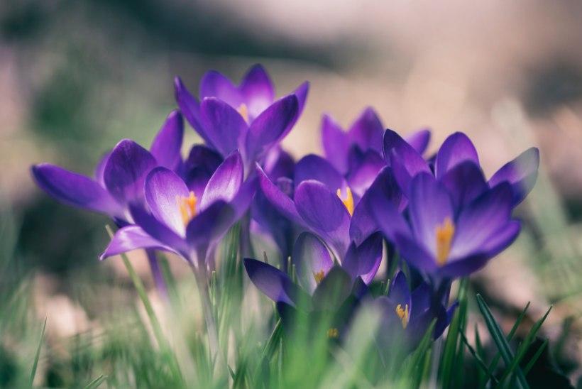AED | Pista juba praegu lillesibulad mulda, et kevadel õieilu nautida!