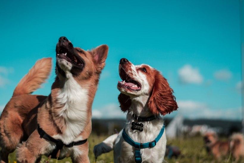 Ekspert jagab soovitusi: koera paaritamisel arvesta nende nõuannetega