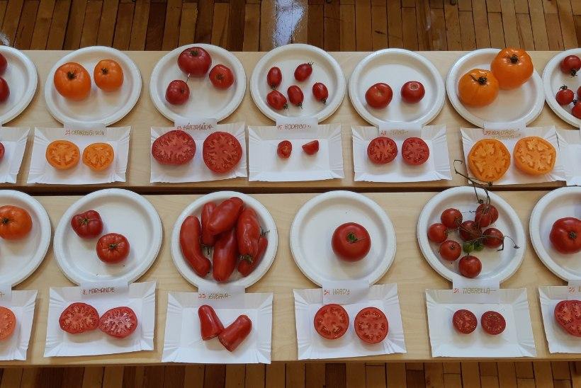 TOMATID VÄLJANÄITUSEL: ettevõtlik Võrumaa naine pani ritta 47 erinevat tomatisorti