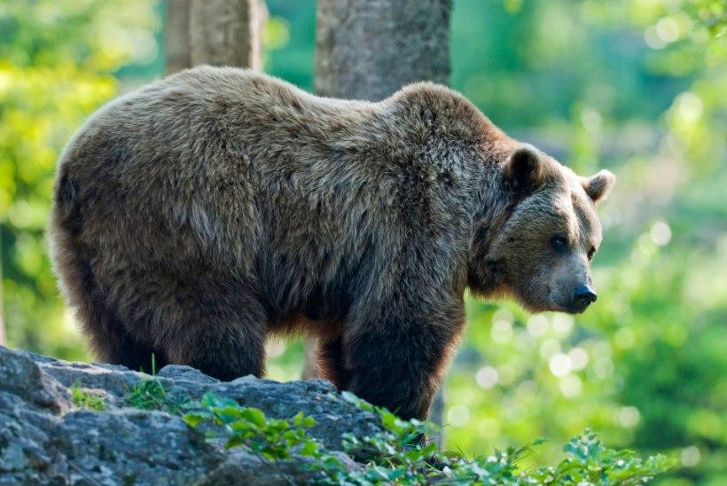 Turistid tahtsid suvel Pärnus karusid näha