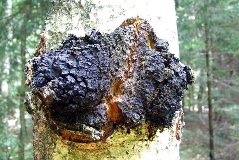 Kas teadsid? Ka Eestimaa metsades kasvab seen, mida loodusrahvad kutsuvad surematuse seeneks