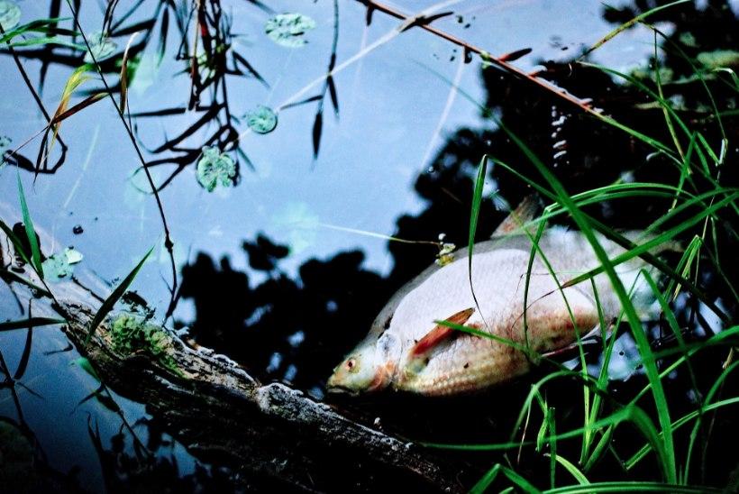 Kliimamuutuste tagajärg: Kreeka järves hukkusid kümned tuhanded kalad