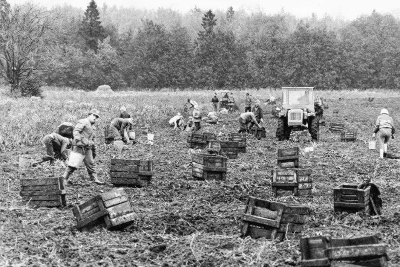 Kartulivõtt nõukogude ajal: koolilaste orjatöö või meeleolukas seltsielu