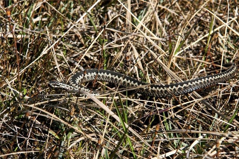 Lätis elab lisaks nastikule ja rästikule veel kolmaski maoliik