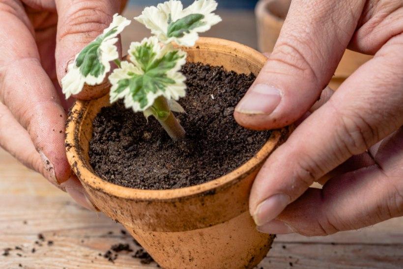 PELARGOON ELAB KAUA: vaata, praktilisi nippe, kuidas õieilu üle talve säilitada