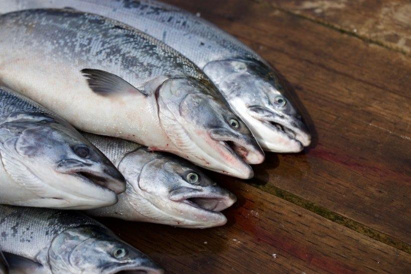 Kaks eestlast tapnud nakkav ja muteeruv bakter hävitab tuntud kalatööstust