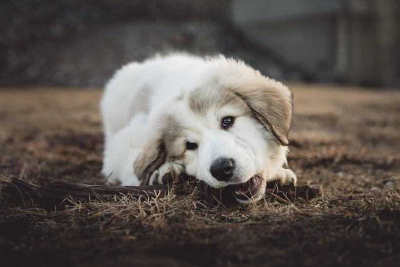 ÄRA UNUSTA ETTEVAATUST! 4 vastikut haigust, mida võid saada oma koeralt või kassilt