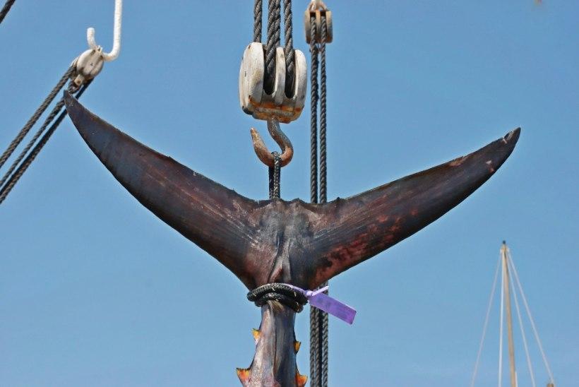 KOLMEMILLINE: Iirimaal tabati üliväärtuslik tuunikala, aga...
