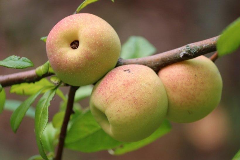 Põhjamaa sidrun ebaküdoonia – unustatud, kuid imeline aiakultuur