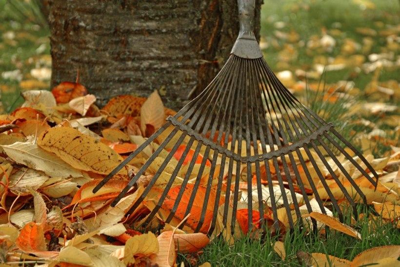 Spetsialist annab nõu: tervita langenud puulehti õige rehaga!