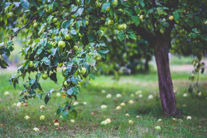 Kui halb või hea on jätta viljad puude alt korjamata või neist hoopis muruniidukiga üle sõita?