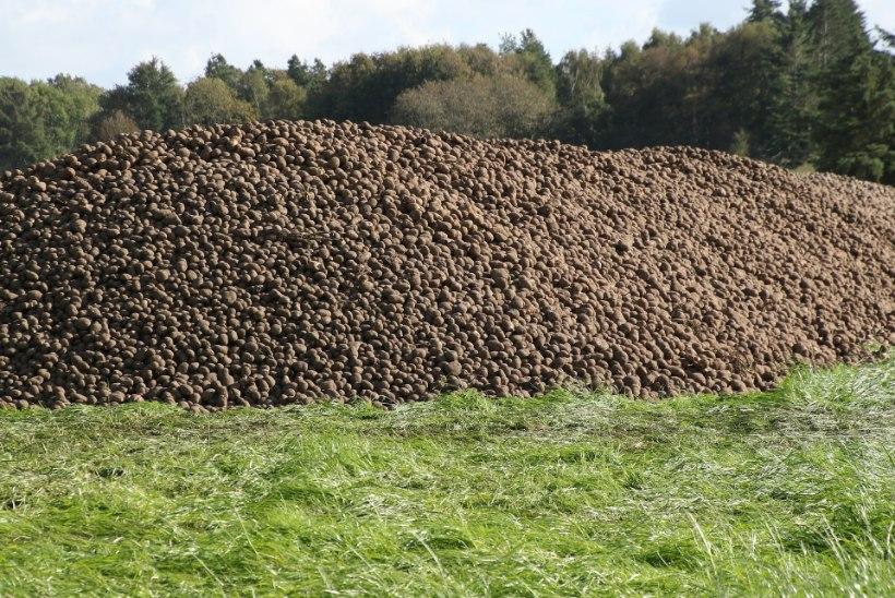 LIIGA MÜRGISED: tee kõrvale jäetud kartulid viidi politseieskordi saatel prügilasse