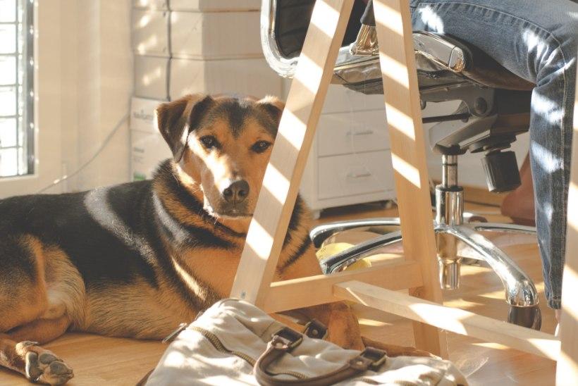 Koer tööle kaasa! 8 soovitust, et rahul oleksid nii kolleegid, koer kui ka looma omanik