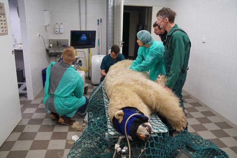PILTUUDIS   Jääkaru Friida käis ultrahelis