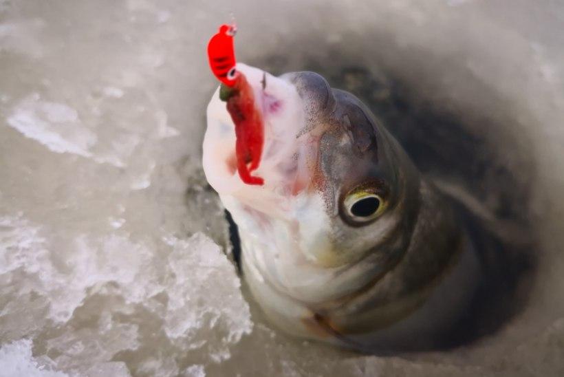 Talvine vimb tahab liikuvat vett ja suutäit matõlli