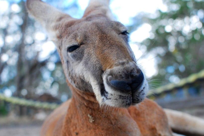 Tallinna loomaaed kutsub üles Austraalia loomade heaks annetama