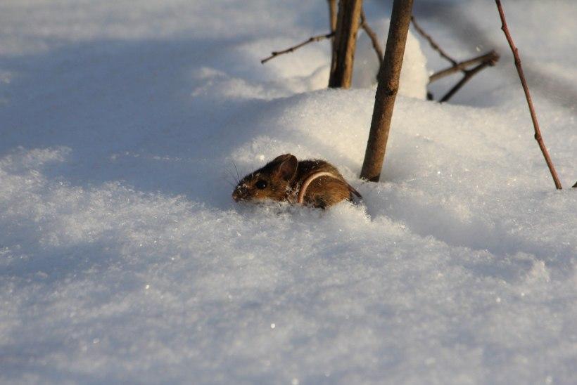 Hiired võivad ühe talvega hävitada kogu noore puuviljaistanduse