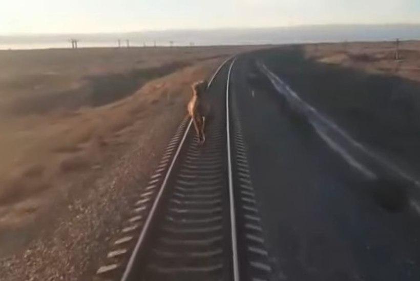 VIDEO | Venemaa raudteel sörkiv kaamel ei lasknud rongi mööda