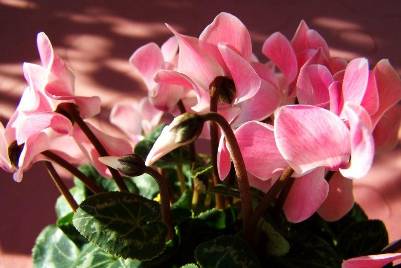 Saage tuttavaks: taimed, mis toovad õnne, rõõmu ja jõukust