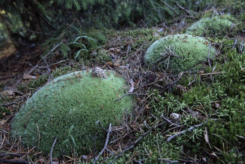 Aasta puu on looduslik püstkoda, aasta loom aga lendav putukapüünis