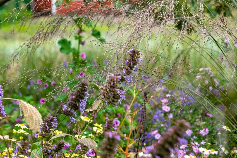 AIALUGU   Kõrreliste katsepolügoon Lillekülas, kus selgub, milline taim Eesti kliimas vastu peab