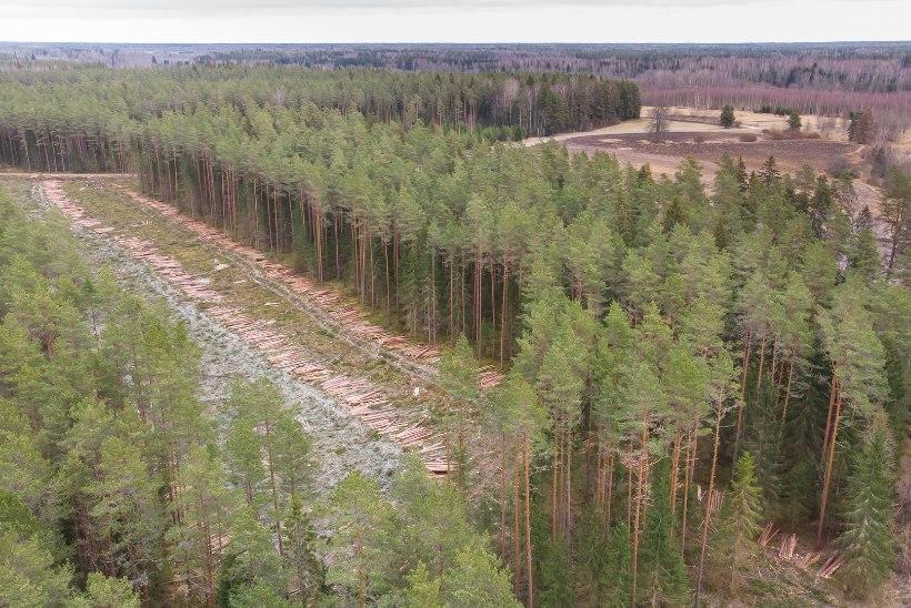 KURGJA METSASÕJA LÕPP: kanakulli pesast ja Jakobsoni perekalmistust 70 meetri kauguselt võib metsa raiuda