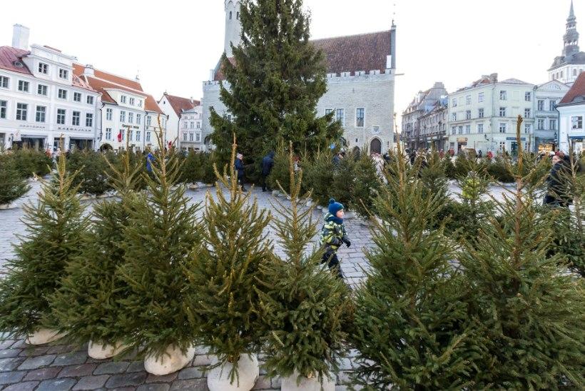 GALERII | Vanalinna ehtinud jõulukuuskedest valmis labürint