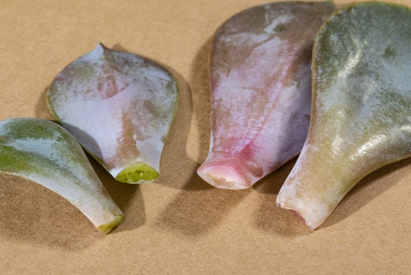 3 viisi, kuidas päästa väljaveninud soomuslehikut