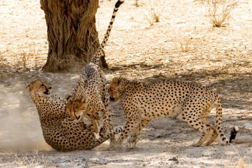 RÕÕMUSTADA VÕI MURETSEDA? Gepardid naasevad India džunglitesse