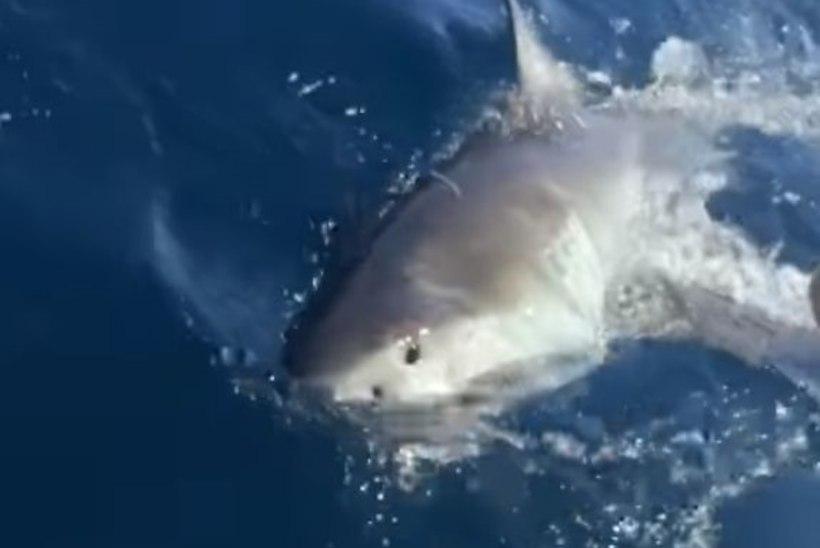 ELU SAAK: harrastuskalamehed tabasid neljameetrise hai