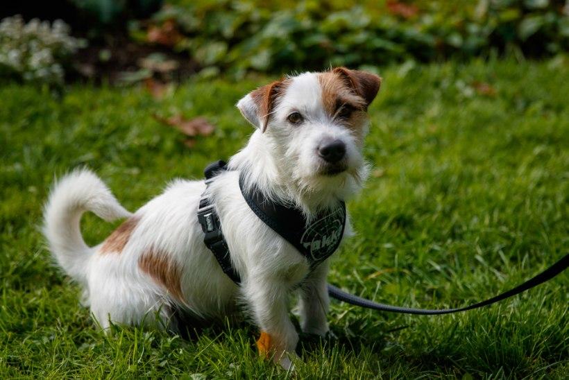 Hea nõu, kuidas valida koerale sobivat kaela- ja jalutusrihma