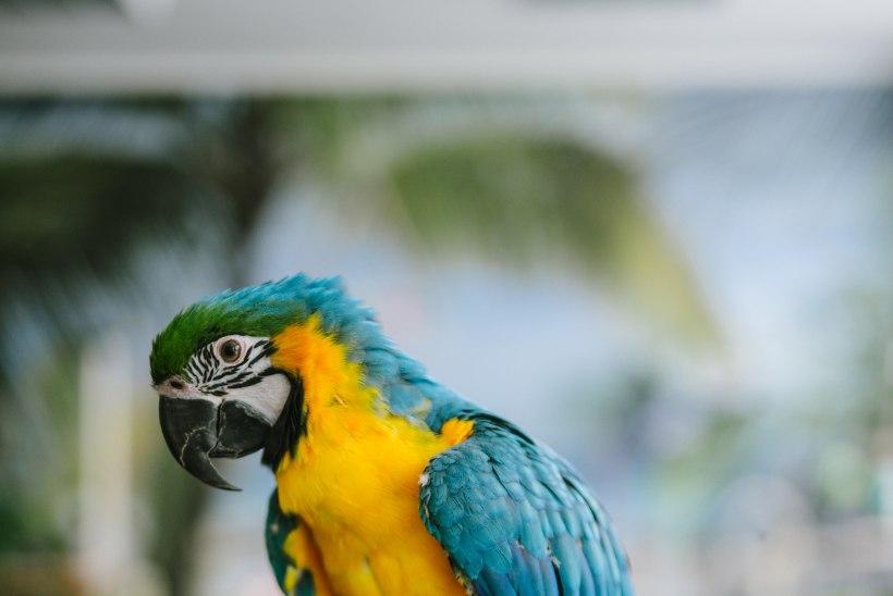 Oi, papagoi! Mida pead teadma enne linnu lemmikuks võtmist