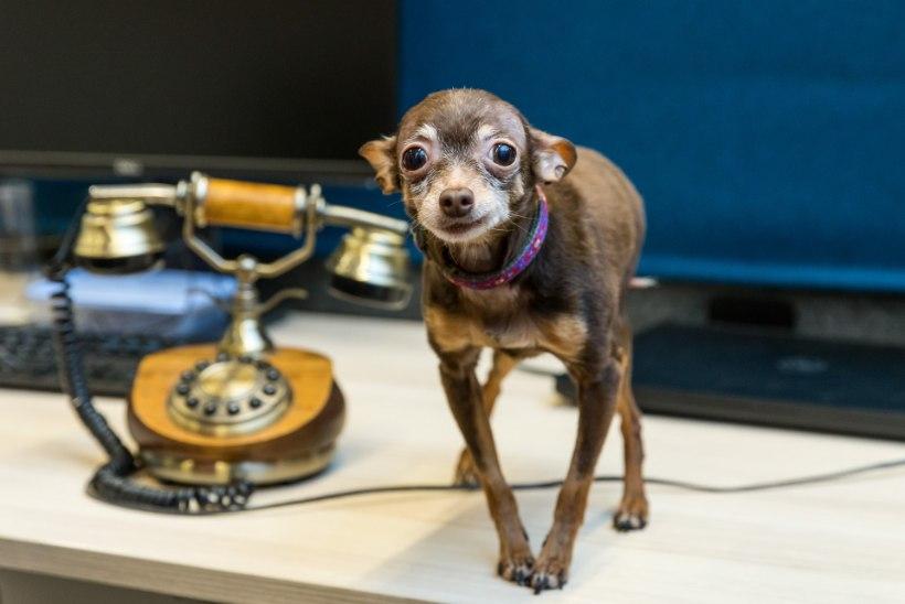 ÕL VIDEO | MIDA NÄITAB LEMMIKLOOMA AURA? Koeraomanik: uskusin, et tal on see süsimust!